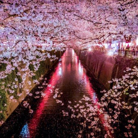 Цветение вишни на реке Мэгуро