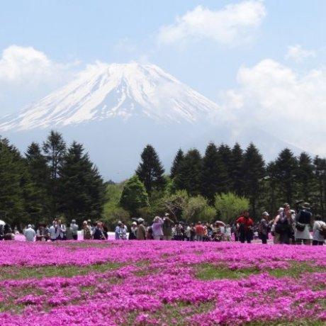 Розовый мир в Фудзигоко