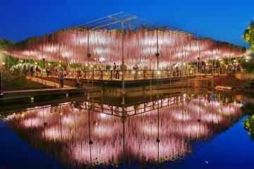 Глициния в цветочном парке Асикага