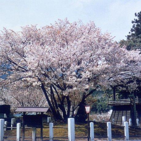 Сакура Сэйган принцессы Тюдзё