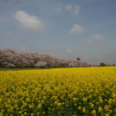 Цветение сакуры в парке Гонгэндо