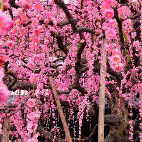 Дождь из цветов японской сливы