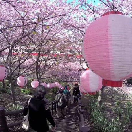 Цветение сакуры в Миюракайган