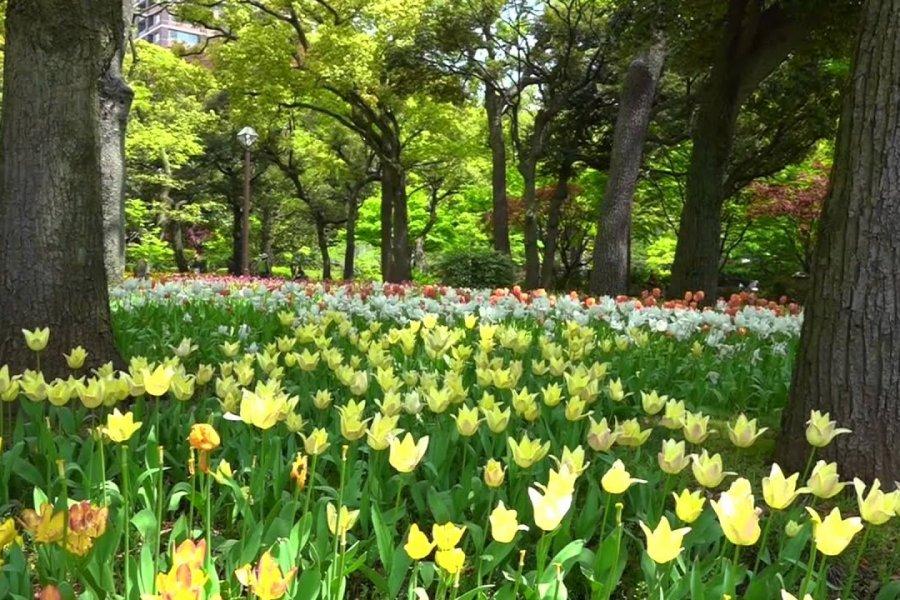 Йокогама: Тюльпаны и легкий ветерок