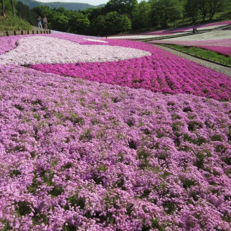 Розовая мечта в парке Хицудзияма