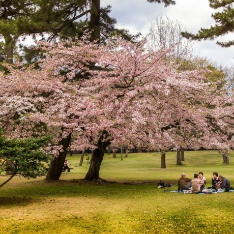 Цветение вишни в парке Беппу