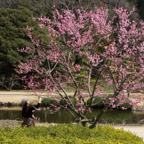 Фестиваль цветения сливы в Мито