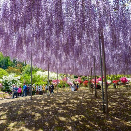 Ashikaga Flower Park in May - Part1
