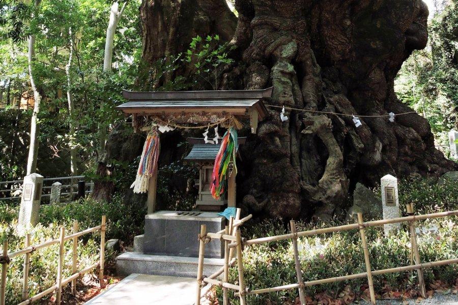 Древнее дерево святилища Киномия