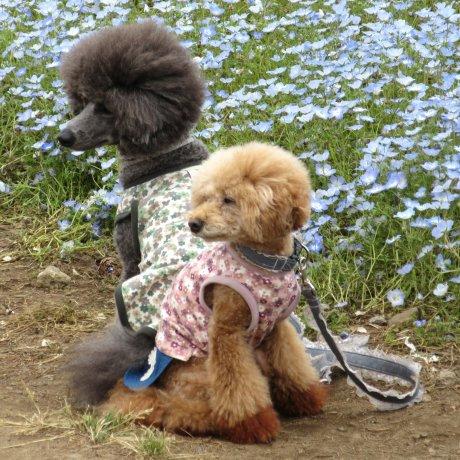 Нарядные собачки в Японии