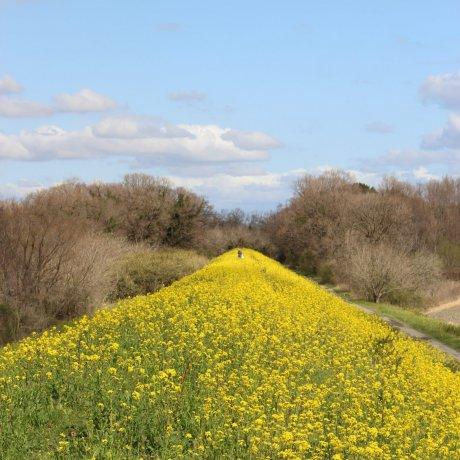 Рапсовые поля вдоль Аракавы в Кавадзиме